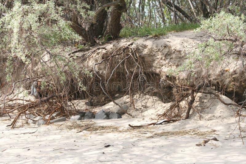 Albero che bagna sulla spiaggia immagini stock