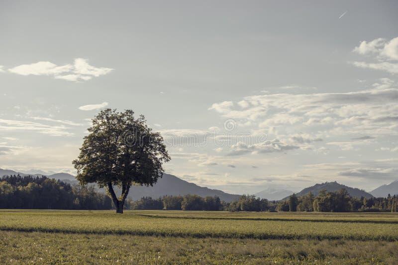 Albero che cresce nel prato verde con la foresta nel fondo fotografia stock