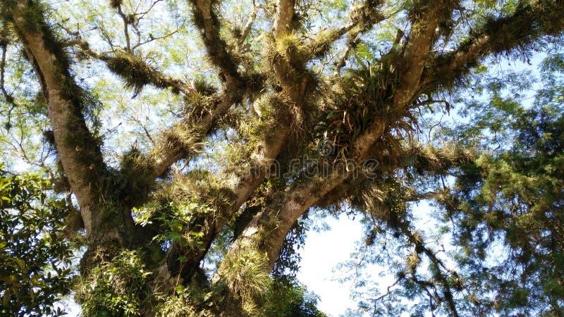 Albero con fogliame Follaje di raggiro di Arbol fotografie stock