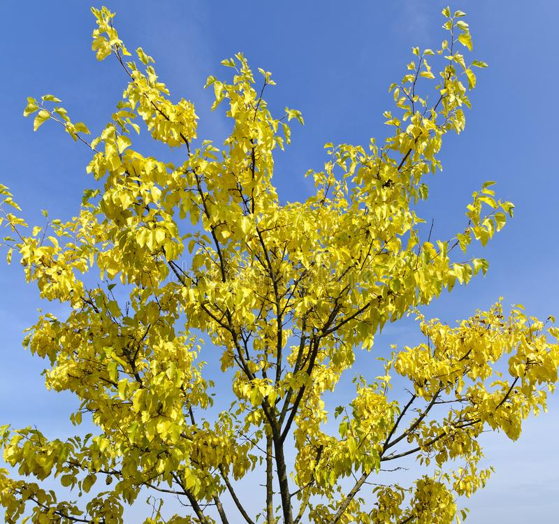Albero con fogliame giallo immagini stock libere da diritti