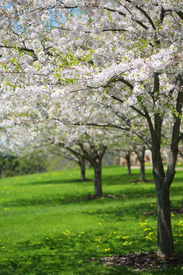 albero con i fiori bianchi della primavera della ciliegia