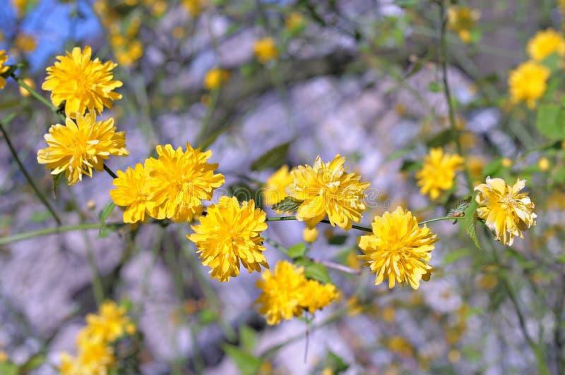 Albero con i fiori gialli immagine stock immagine di for Albero con fiori blu