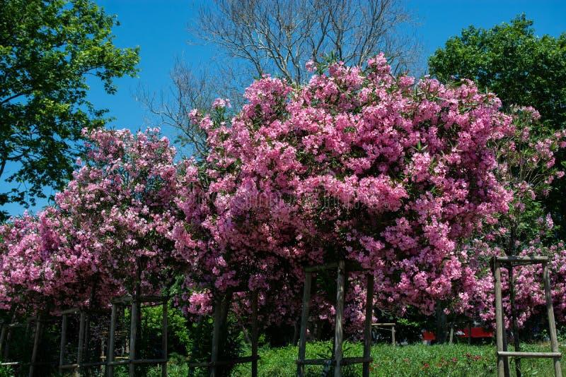 Albero con i fiori rosa, cielo su fondo Pianta romantica e bella immagine stock libera da diritti