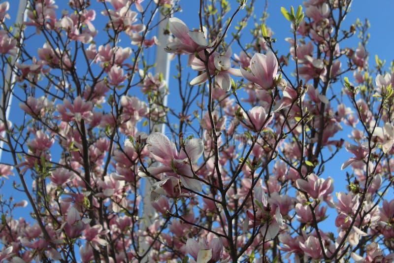 Albero con i fiori rosa - magnolia immagine stock