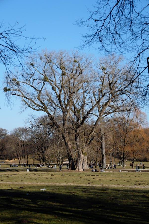 Albero con il vischio nel giardino inglese immagini stock libere da diritti