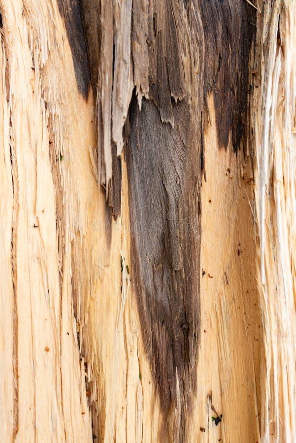 Albero con la fine nociva della corteccia sul verticale fotografia stock libera da diritti