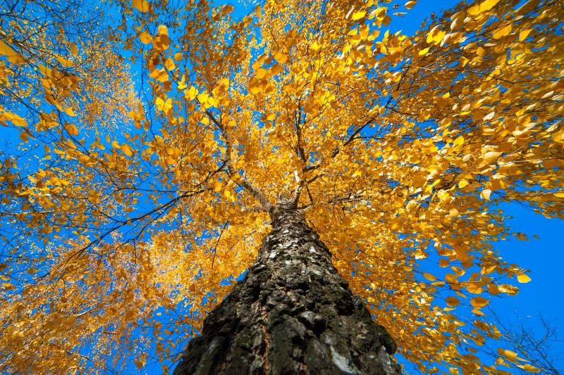 Albero con le foglie di autunno gialle fotografie stock