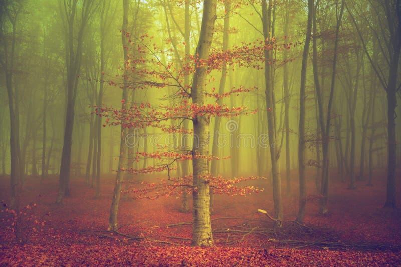 Albero con le foglie di rosso in foresta nebbiosa fotografia stock
