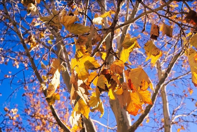 Albero con le foglie gialle luminose immagine stock