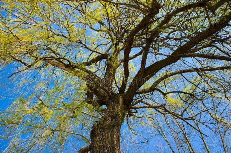 Albero con le foglie verdi fotografia stock