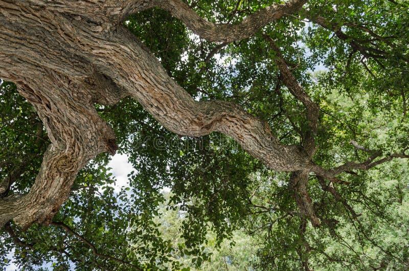 Albero con le foglie verdi, grande albero, colpo preso dal fondo fotografie stock