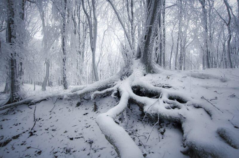 Albero con le grandi radici in foresta congelata incantata nell'inverno fotografie stock libere da diritti