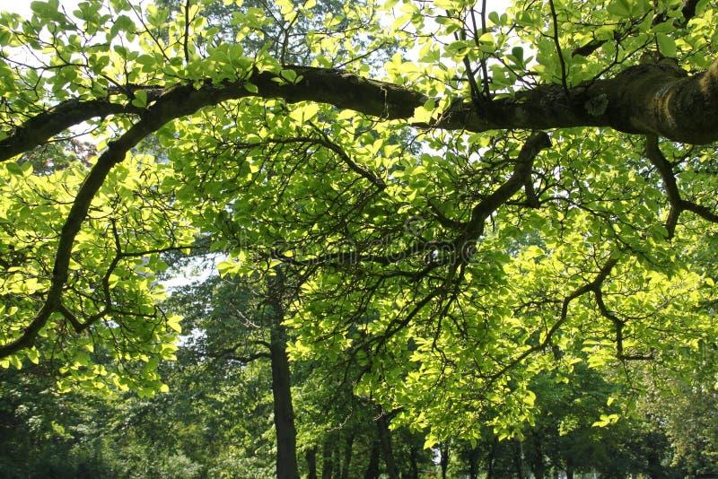 Albero con le nuove foglie nel parco nel centro della città Rotterdam in bella molla immagini stock