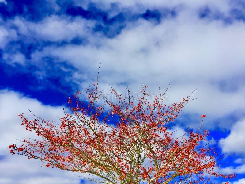Albero con le piccole mele rosse contro cielo blu luminoso e le nuvole bianche fotografia stock libera da diritti
