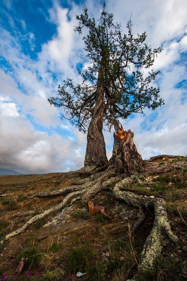 Albero con le radici di sporgenza contro il cielo sulla roccia immagini stock