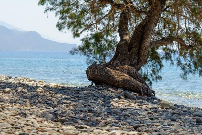 Albero curvo alla spiaggia pietrosa della citt di - Alla colorazione della spiaggia ...