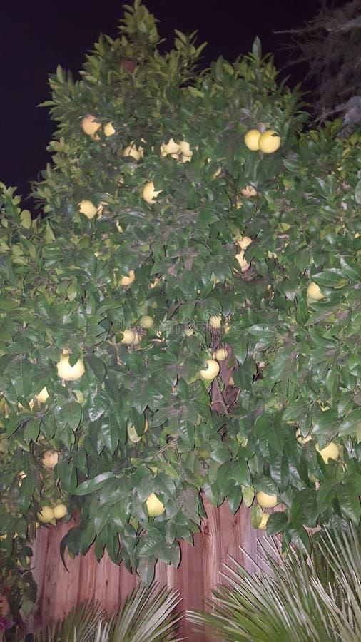 Albero da frutto immagini stock