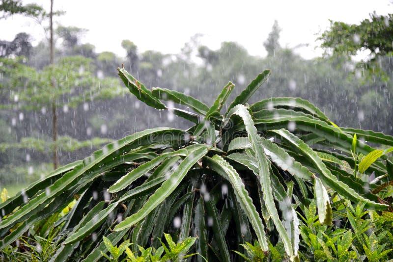 Albero da frutto del drago nella pioggia fotografia stock