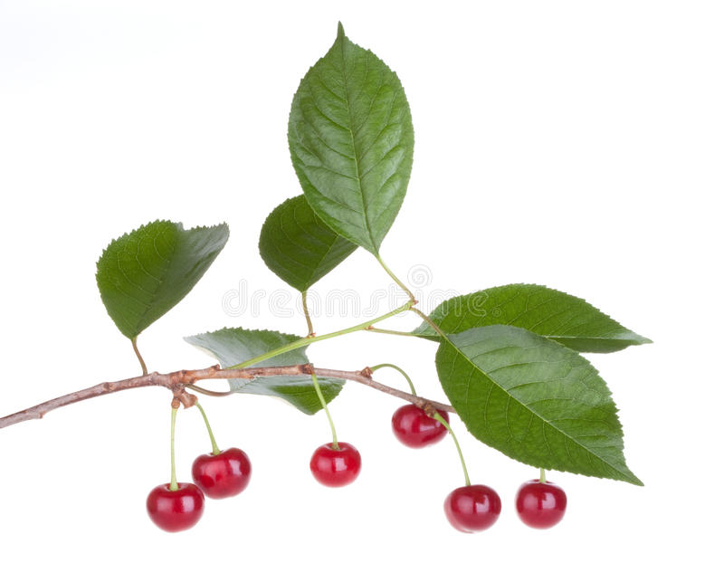 Albero da frutto della ciliegia con i fogli immagine stock for Albero da frutto nano