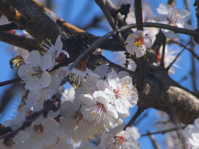Albero da frutto e ape di fioritura piacevoli fotografie stock