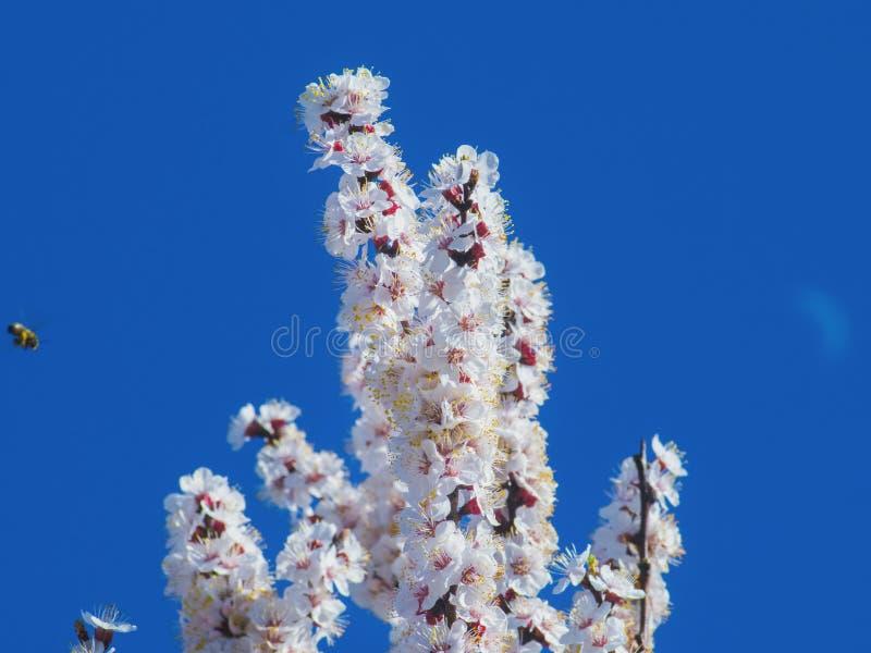 Albero da frutto e ape di fioritura su fondo blu fotografie stock libere da diritti