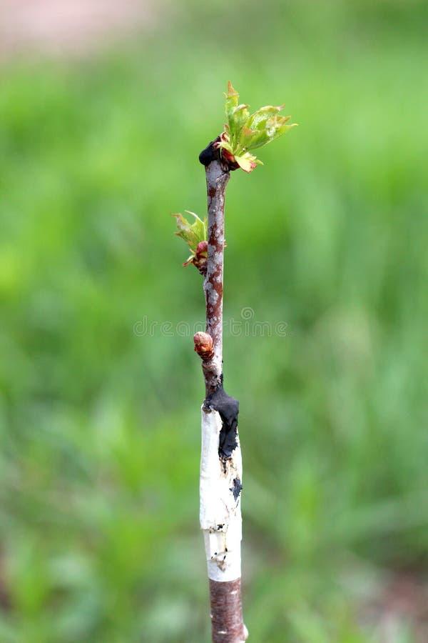 Albero da frutto innestato in un frutteto fotografie stock