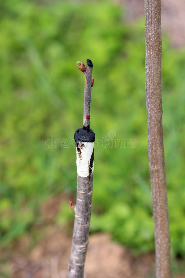 Albero da frutto innestato in un frutteto fotografia stock libera da diritti