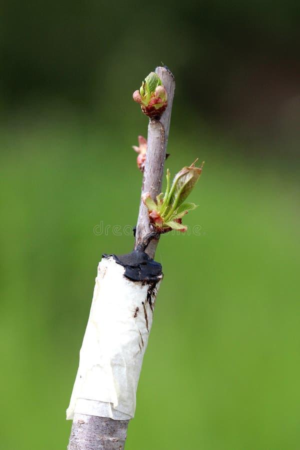 Albero da frutto innestato in un frutteto immagine stock