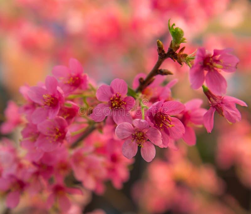 Albero da frutto rosa in primavera immagine stock
