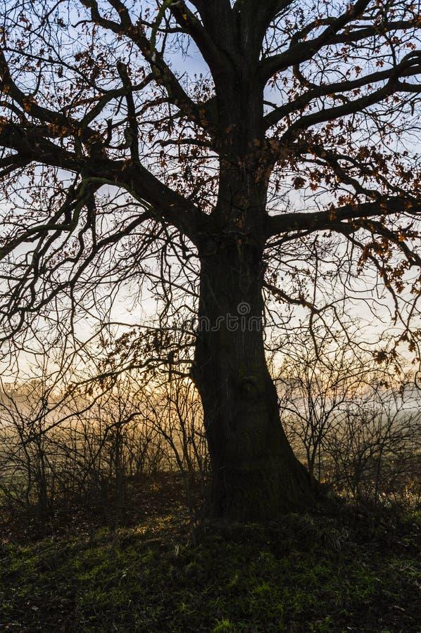 Albero da solo grande sul prato al tramonto fotografie stock
