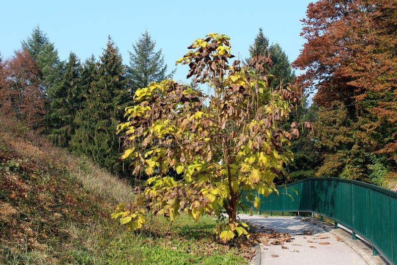 Albero decorativo con i baccelli cilindrici sottili lunghi del seme e verde alle foglie gialle e marroni piantate in parco locale fotografia stock