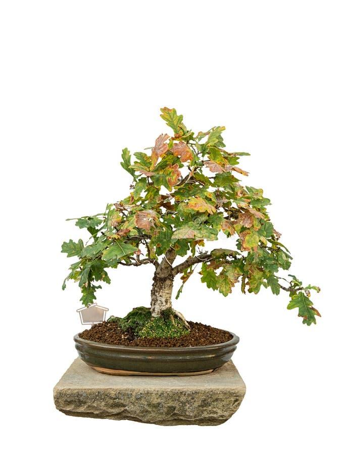 Albero dei bonsai immagini stock
