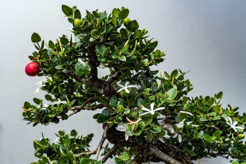 Albero dei bonsai con una frutta rossa e un primo piano bianco del fiore su un fondo grigio fotografia stock libera da diritti