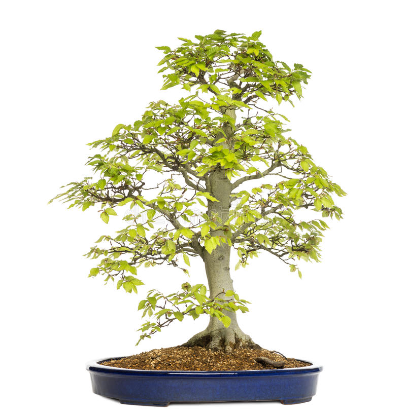Albero dei bonsai del faggio, fagus sylvatica immagine stock