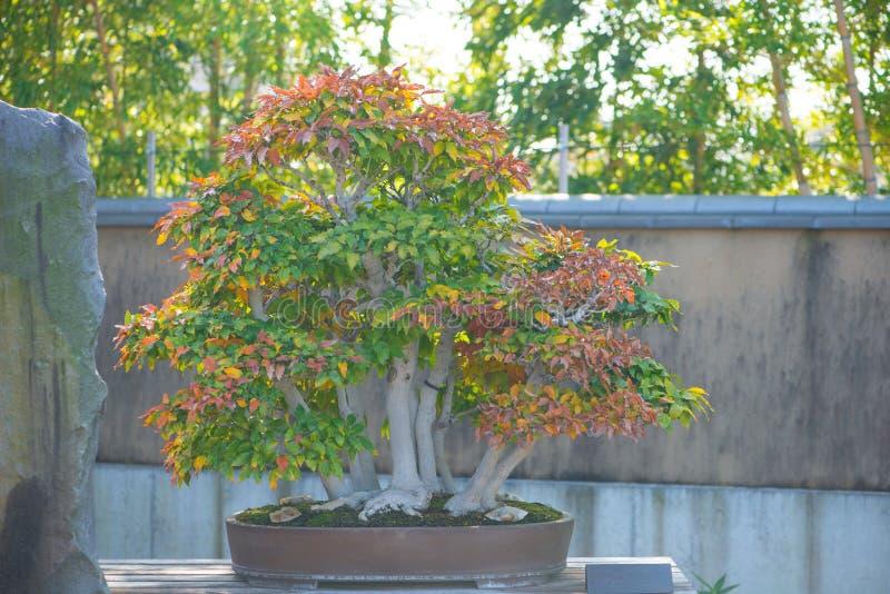 Albero dei bonsai del faggio giapponese nel villaggio dei bonsai di Omiya fotografia stock libera da diritti