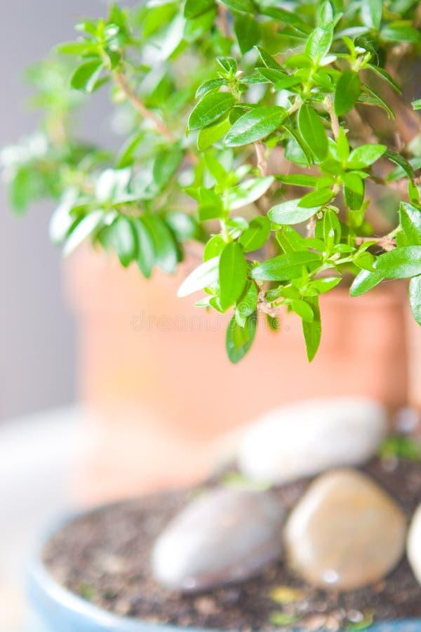 Albero dei bonsai del Myrtle fotografia stock