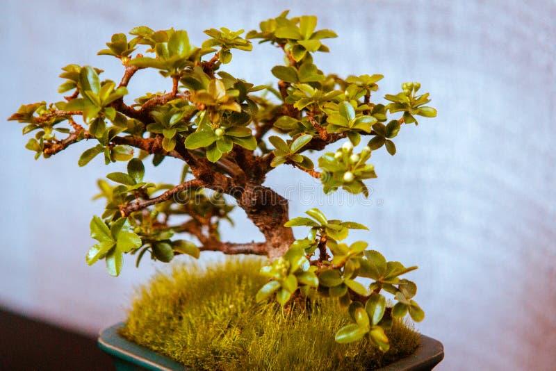 Albero dei bonsai della mela di granchio che è indicato a Frederik Meijer Gardens a Grand Rapids Michigan fotografie stock