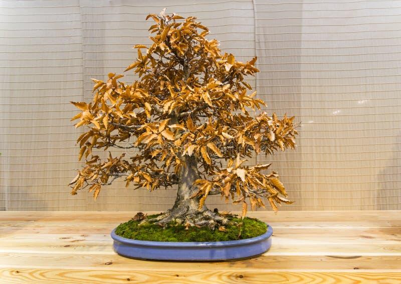Albero dei bonsai - faggio giapponese immagini stock