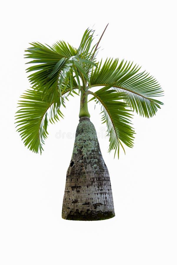 Albero dei bonsai, foglie verdi, isolate sugli oggetti naturali di un fondo bianco immagine stock