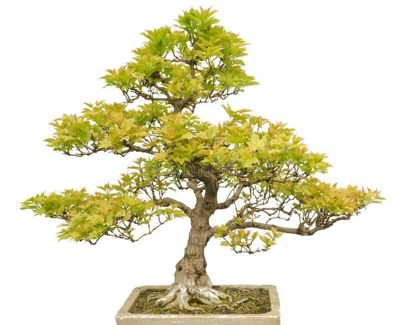 Albero dei bonsai isolato su bianco immagini stock