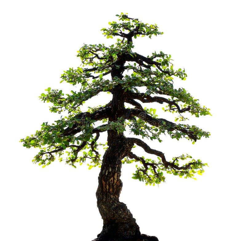 Albero dei bonsai isolato su priorità bassa bianca fotografia stock libera da diritti