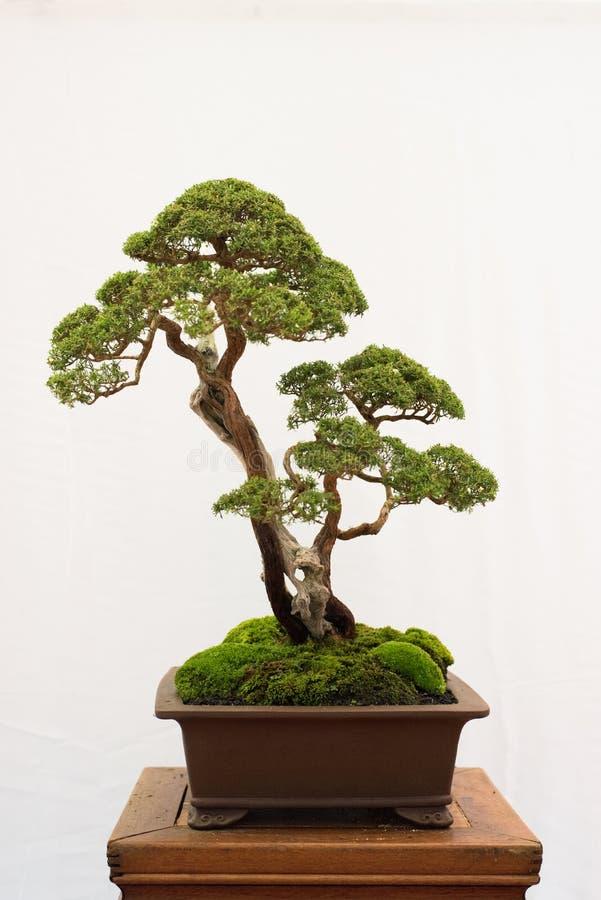 Albero dei bonsai isolato su priorità bassa bianca immagini stock libere da diritti