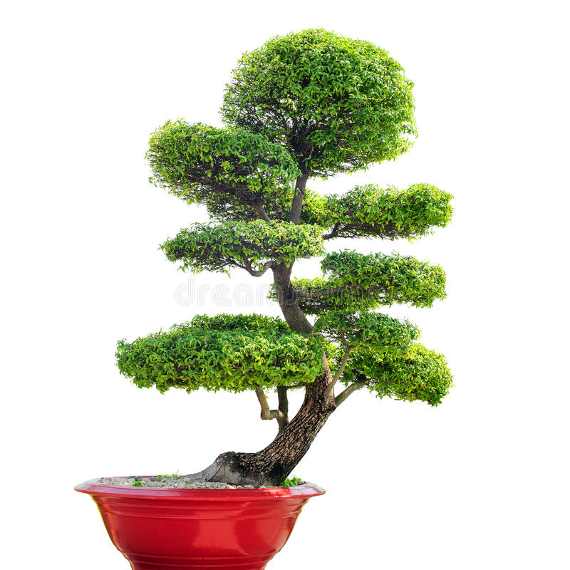 Albero dei bonsai isolato su priorità bassa bianca fotografia stock