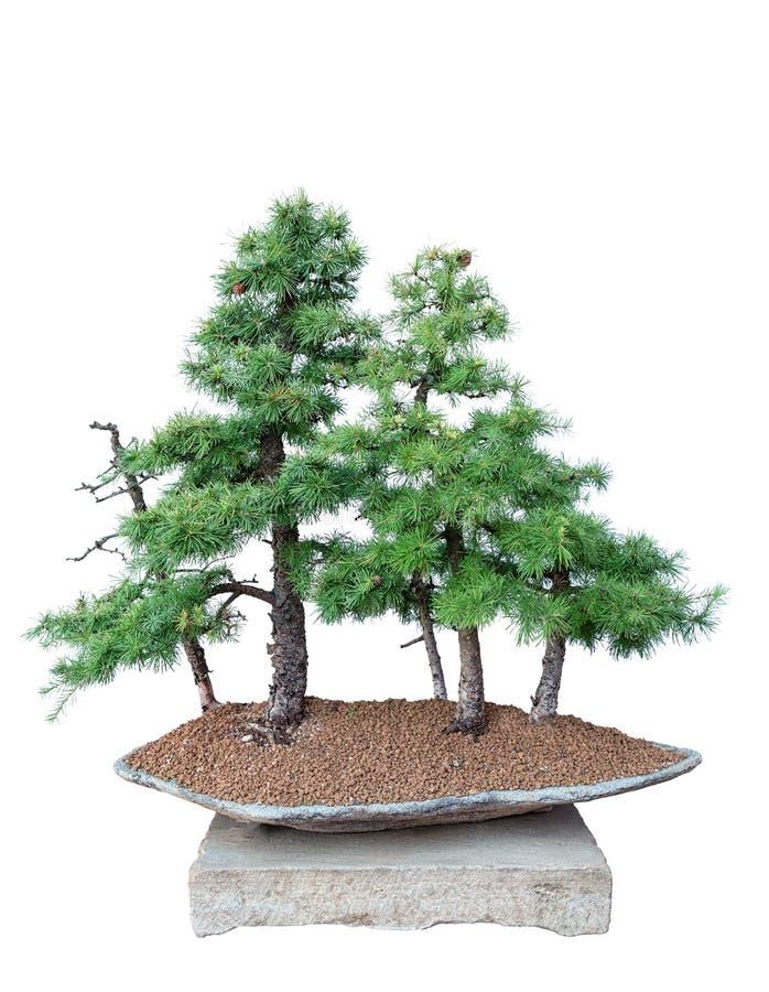 Albero dei bonsai - larice fotografia stock libera da diritti