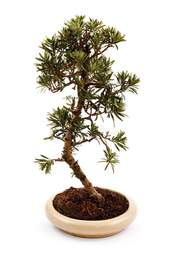 Albero dei bonsai in un vaso fotografia stock