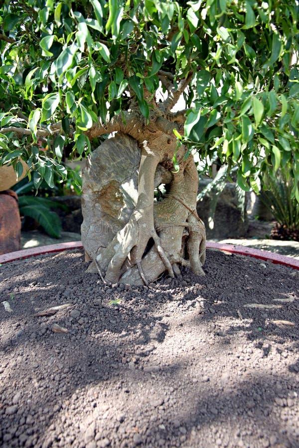 Albero dei bonsai in verdure saltate. fotografia stock