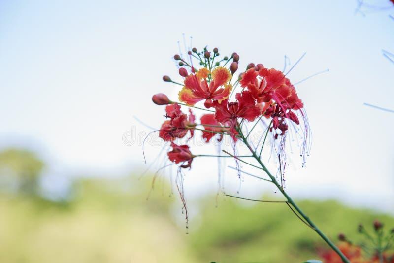 Albero dei fiori di pavone immagini stock
