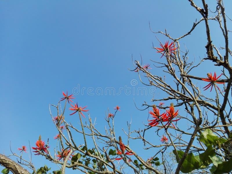 Albero dei rami secchi con i fiori rossi immagini stock