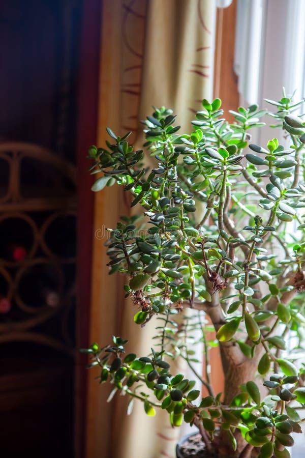 Albero dei soldi Grande pianta in vaso succulente dell'interno alla luce di fotografia stock libera da diritti