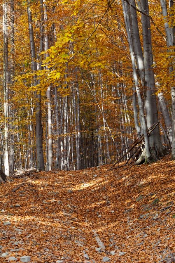 albero del Argento-faggio fotografie stock libere da diritti